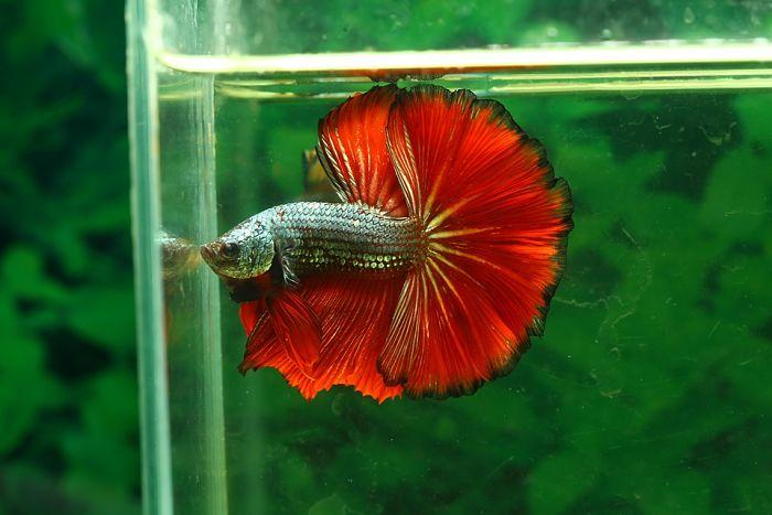pez betta comidas