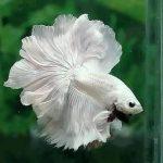 pez betta blanco y negro