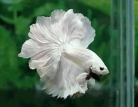 pez betta blanco y negro