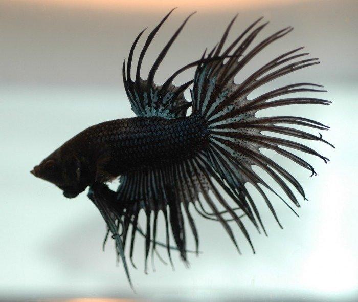 pez betta corona negro