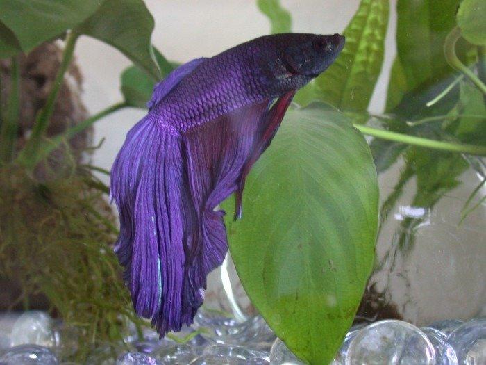 pez betta delta