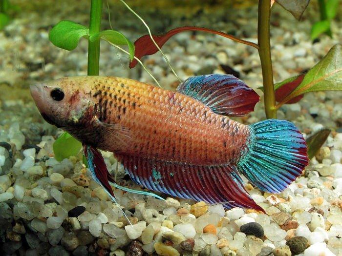 pez betta hembra lista para aparearse