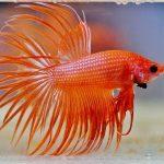 peces betta hembra y macho