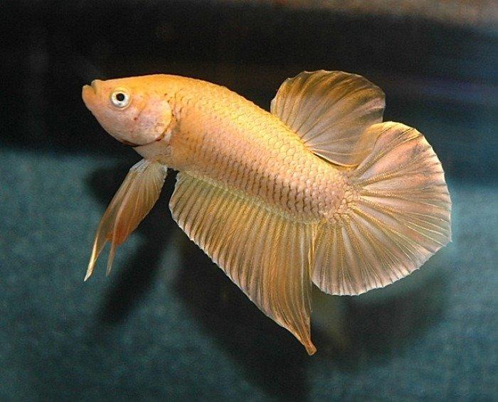 pez betta hm amarillo