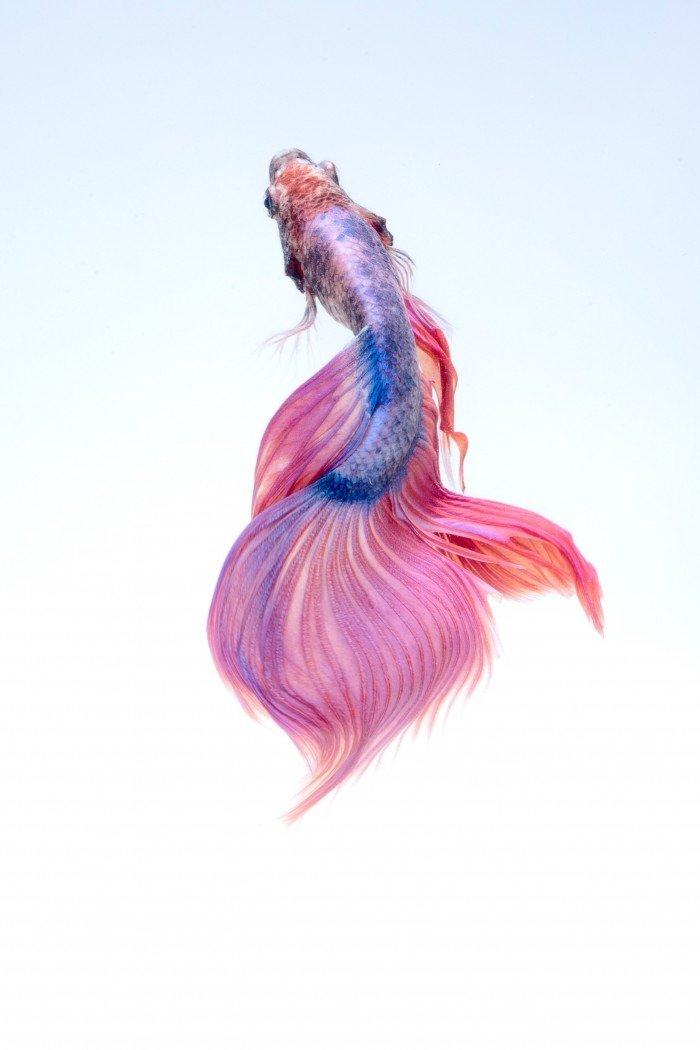 pez betta koi imagenes