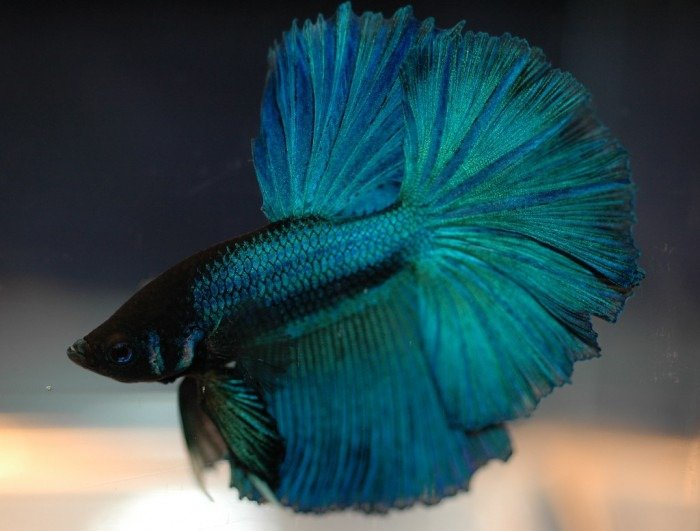 pez betta media luna negro