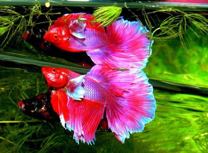 pez betta petalo de rosa