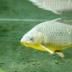 pez carpas