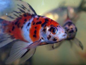 Pez goldfish shubunkin