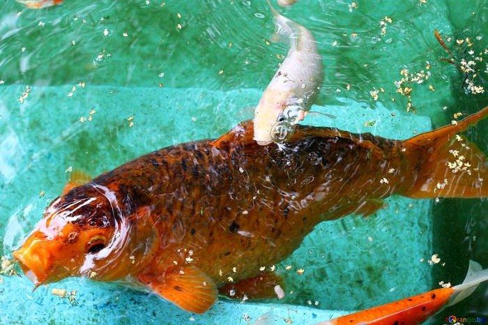 pez ornamental koi imagenes