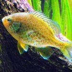 pez perca sol en acuario