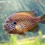 pez perca sol imagenes,imagen peces exóticos