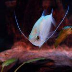 Fotos del pez gourami
