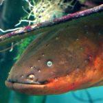 anguila eléctrica genero
