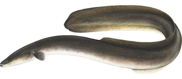 anguila fotos