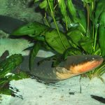 anguila historia