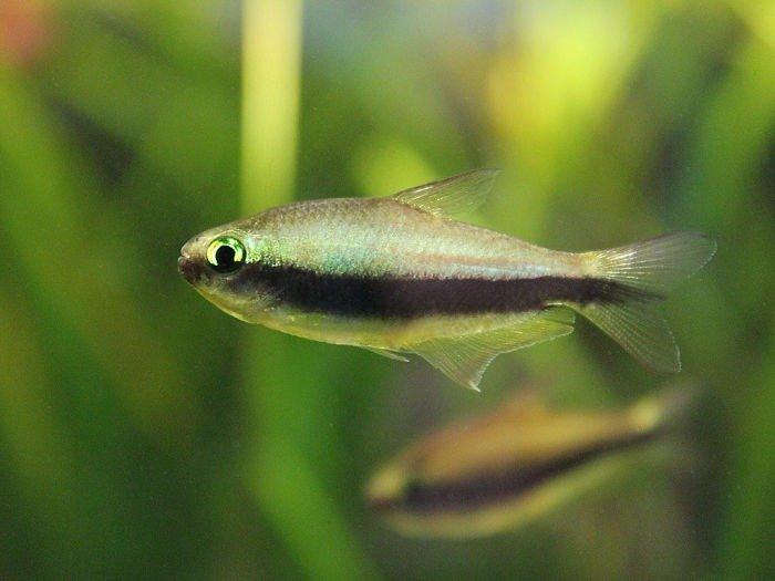 imagenes de peces tetras