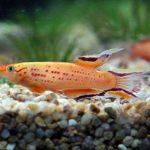 imagenes del pez killi