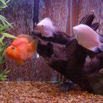 las mejores fotos del pez gourami