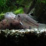 corydoras y peces discos