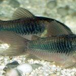 peces de fondo acuario corydoras.