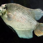 pez climbing gourami