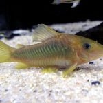 pez corydora bronce