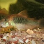 pez corydora elegans