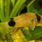 pez corydora macho y hembra