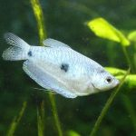 pez gouramis