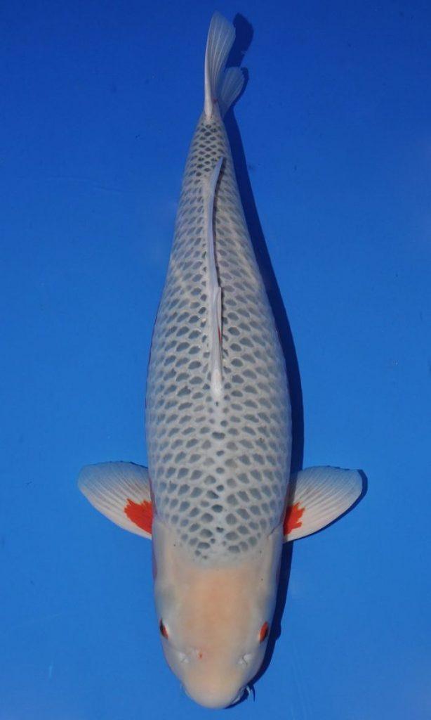 imagenes del pez koi asagi