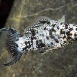 pez molly agua fria
