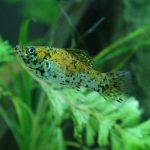 pez molly variedad