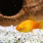 pez platy acuario