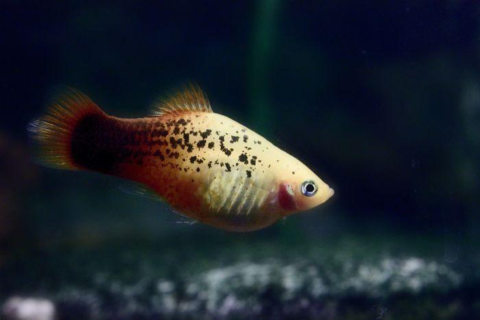 pez platy comida
