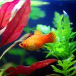 pez platy esta embarazada