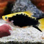 pez platy vida