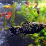 que hacer cuando nacen peces molly