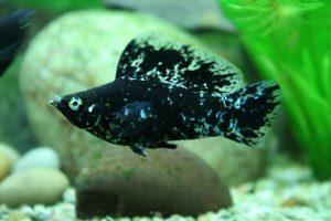 Fotos de peces mollys