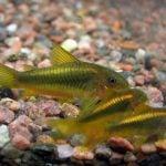 reproduccion de peces corydoras