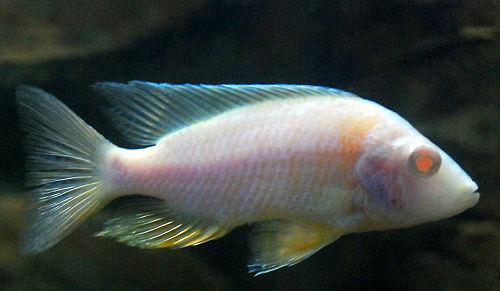aulonocara albino, aulonocara ali, aulonocara aquilonium, aulonocara aquilonium mdoka, aulonocara azul, aulonocara azul electrico