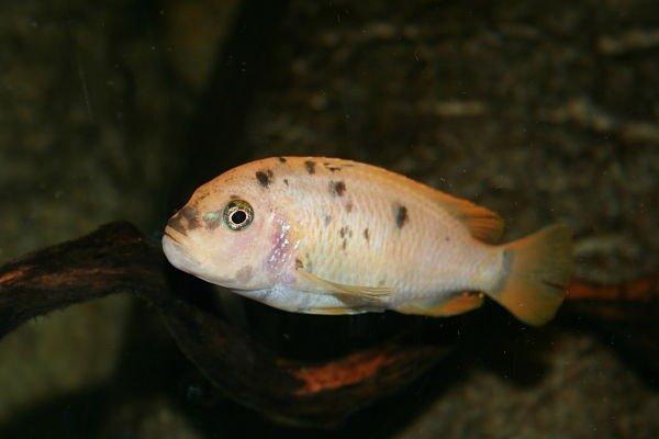 peces ciclidos africanos del lago malawi, peces ciclidos africanos del malawi, peces ciclidos africanos fotos