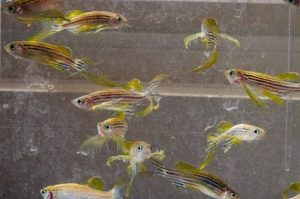 reproduccion de pez cebra, tipos de pez cebra, cuidados de pez cebra, embarazo de pez cebra, pez cebra embarazada