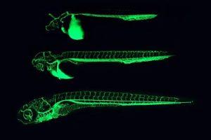 cebra fluorescente embarazo, pez cebra fluorescente reproduccion, pez cebra gordo, pez cebra gigante, pez cebra grandes