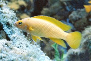 cria ciclido limon, pez ciclido amarillo limon, pez limon ciclido africano