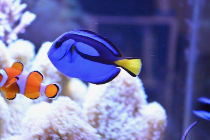pez cirujano especies, pez cirujano espina, pez cirujano fotos