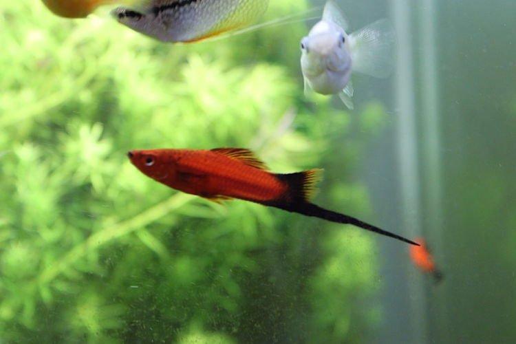 pez cola imagenes