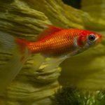cometa pez agua fria, como criar pez cometa, como cuidar peces cometa, como es un pez cometa