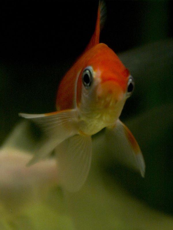 como reproducir pez cometa, mi pez cometa se esta poniendo negro, mi pez cometa se queda quieto, peces cometa tipos, pez cometa acuario