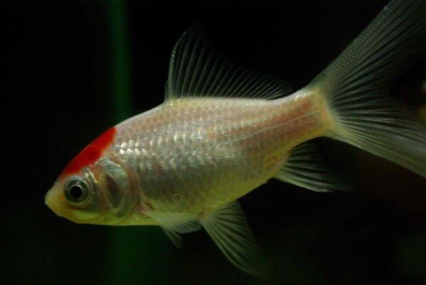 pez cometa fotos, pez cometa grande, pez cometa longevidad, pez cometa macho o hembra